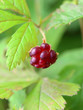 Red berry of the Arctic raspberry