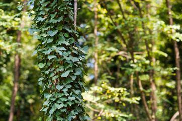 Tree trunk with a creeper plant on a blurred background