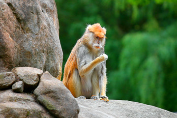 patas monkey Erythrocebus patas sitting on rock eating