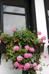 Window with Blossoming Geranium