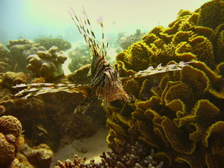 Sea life - lionfish