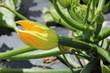 canvas print picture - Courgette en fleur