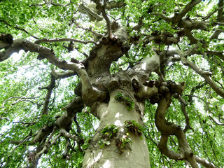 Verwurzelter alter Baum