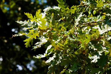 Green oak leaves and acorns