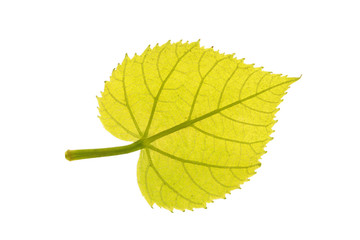 Green leaf of Common linden isolated on white