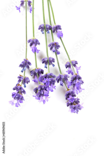 Fotobehang Lilac lavender isolated on white