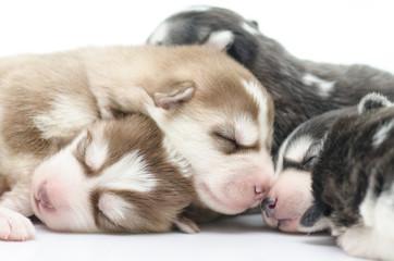 Cute siberian husky puppies sleeping