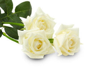 white roses isolated on the white background