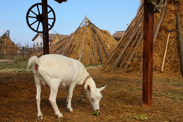 Goat grazing in the yard of the rural house