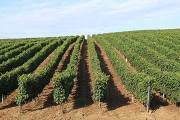 Vine plantation