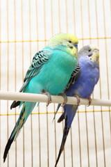 A pair of parrots