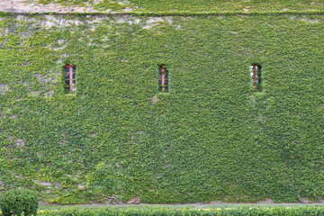 Wall covered with ivy with three windows