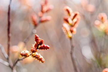 Frühling. Erste Knospen