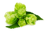 green hops isolated on the white background - 68975296