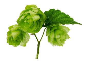green hops isolated on the white background