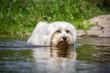 Weißer Hund im Wasser