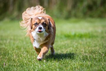 Kleiner brauner Hund