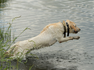 Leaping Hunting Dog
