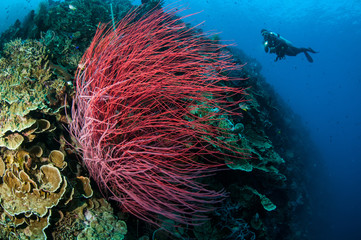 Sea whip Ellisella grandis in Gorontalo, Indonesia underwater