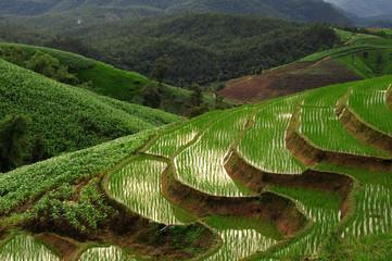 Landscape Paddy