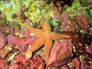Starfish, Barents sea