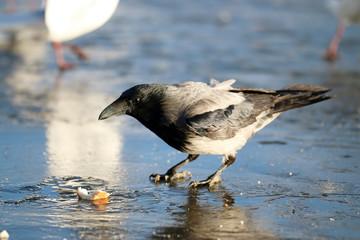 crow ice winter wildlife