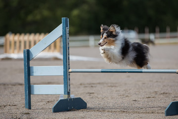 Shetland Sheepdog jumps over an agility hurdle