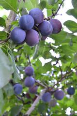 Pflaumenbaum (Bio)