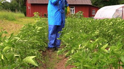 gardener man spray vegetables in garden. Plant protection