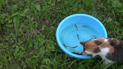 cat hunt  between small fish one crucian carp in blue bowl