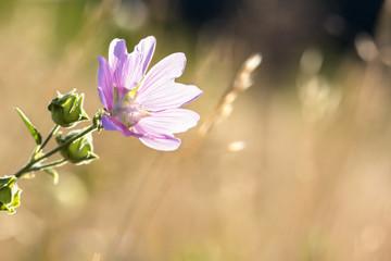 natural flower background wild mallow