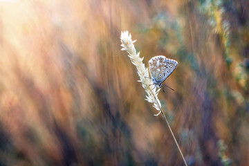 natural background blues butterfly in the grass