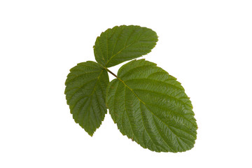 three green leaf raspberry isolated on a white background