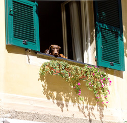 curious dog watching out of the window tu Portofino house