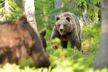 Bears face to face