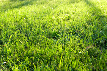 Green grass background texture. Element of design background.