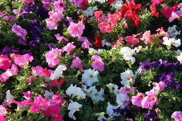 A Colourful Collection of Petunia Flower Plants.