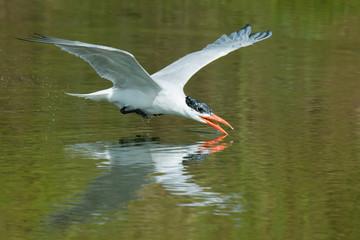 A Caspian Tern (Hydroprogne caspia) scooping up a drink of water