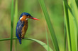 A Malachite Kingfisher (Alcedo cristata) perched on a bent reed