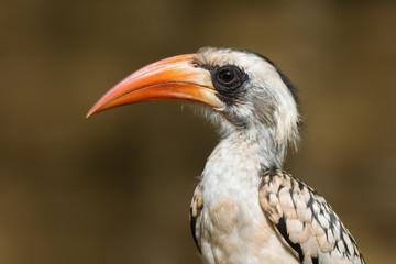 A portrait of a  Western Red-Billed Hornbill (Tockus erythrorhyn
