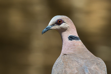 Portrait of a Red-eyed Dove (Streptopelia semitorquata)