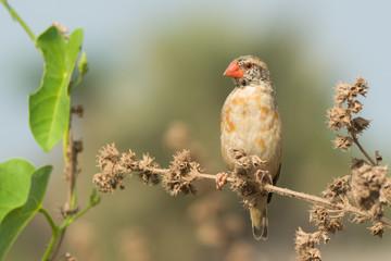 Red-billed Quelea (Quelea quelea) changing plumage