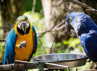 Blue-and-yellow macaw (Ara ararauna) and Hyacinth macaw (Anodorh