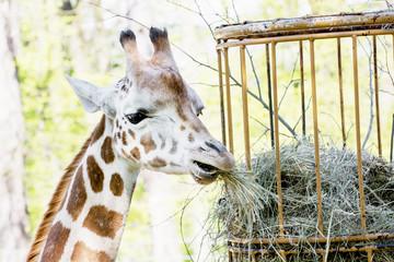 Rothschild's giraffe (Giraffa camelopardalis rothschildi) eats d