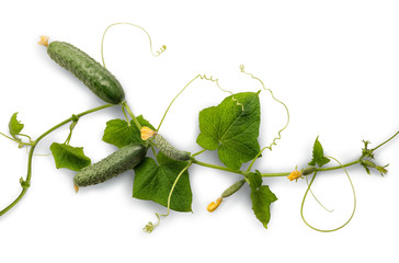 Vine cucumber with juicy fruits