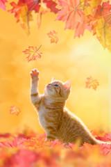 Herbstkatze, Hebrstkätzchen