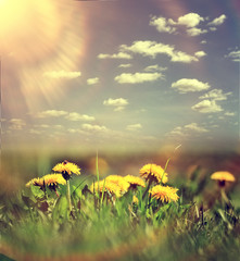 dandelions sky clouds summer landscape