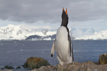Gentoo penguins who shouts standing on a rock