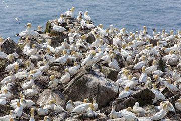 Northern gannets nesting at Cape St. Mary's, Newfoundland