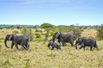 Wilde Elefanten nach Schlammbad, Afrika